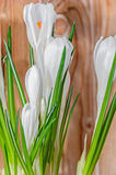 White crocus flowers green plant, spring time, wood background Stock Photo