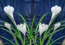 The white crocus in hands. A photo against the background of a blue jacket. Stock Images