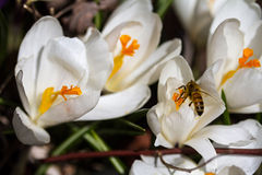 White crocus with honeybee. A white crocus in the spring with a  honeybee gathering pollen Royalty Free Stock Photos