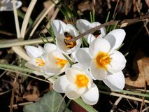 White Crocus in march, bee collecting first nectar of the season stock photo