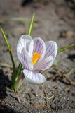 White Crocus with Purple Stripes Stock Photography