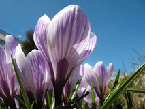 White crocus with purple veins Royalty Free Stock Photo