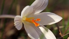 White crocus stock footage