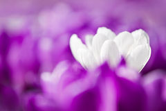 White crocus with violet ones Royalty Free Stock Photo