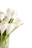 White crocus on white Stock Photo