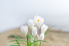 The white crocus. White crocuses in the grass on the garden. The spring day with clear blue sky. Stock Photos