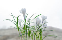 The white crocus. White crocuses in the grass on the garden. The spring day with clear sky. Royalty Free Stock Images