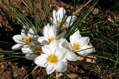 White crocus in the woods. White crocus flowers in full sun in the woods Stock Photo