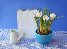 White crocuses and empty notebook on a  blue background Royalty Free Stock Image