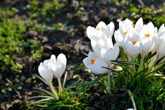 White crocuses Royalty Free Stock Photography