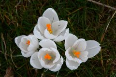 White crocuses in the grass royalty free stock photo