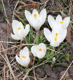 White crocuses Royalty Free Stock Photos