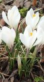 White crocuses Royalty Free Stock Image