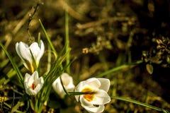 White crocuses. Macro shot of white crocuses Stock Photo