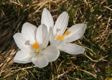 White crocuses Stock Images
