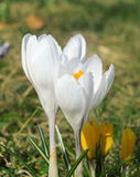 White crocuses on a meadow Stock Photography