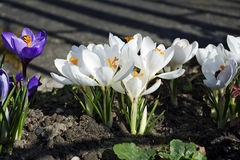 White crocuses in spring garden. Royalty Free Stock Images