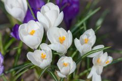 White crocuses close up Stock Images
