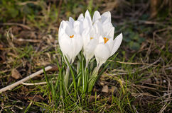 White crocuses. White spring crocuses growing in the garden Stock Photo