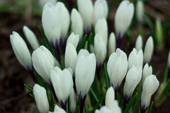 White crocuses on a spring meadow. Stock Image