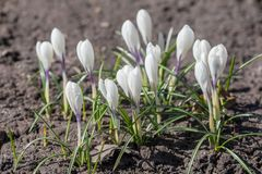 White crocuses in the spring Stock Image