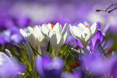 White crocusses blooming amidst purple flowers Stock Photos