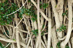 White crooked stems. Detail of an old croked bush Royalty Free Stock Images