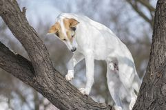 Cross-breed dog climbing on a leafless apricot tree at winter season. White cross-breed dog climbing on a leafless apricot tree at winter season stock images