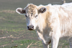 White crossbred beef heifer Royalty Free Stock Photo