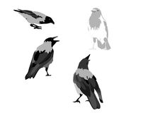 A white crow with black birds. On a white background, stands out from all Stock Photography