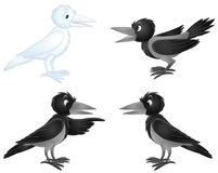 White crow and black crows Stock Photos