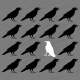 White crow among black crows. On a grey background Stock Photos