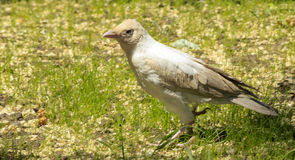 White crow. In the city garden Royalty Free Stock Image
