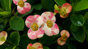 White Crown of Thorns Flowers Royalty Free Stock Photography