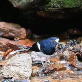 White-crowned Forktail Stock Photography