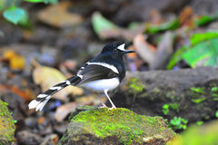 White-crowned Forktail bird Royalty Free Stock Images