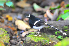 White-crowned Forktail bird Royalty Free Stock Photos