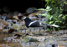 White-crowned Forktail Enicurus leschenaulti Stock Photography