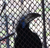 White-crowned hornbill in cage. White-crowned hornbill in the cage Stock Photo