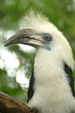White-crowned Hornbill, Sarawak Royalty Free Stock Photography