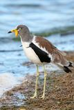 White-crowned Lapwing Stock Image