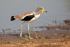White-crowned lapwing Royalty Free Stock Photography