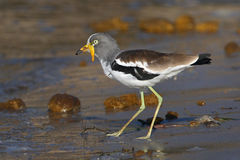 White crowned lapwing Royalty Free Stock Photography