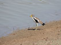 White crowned Lapwing Stock Photo