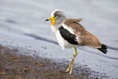 White crowned lapwing forage for insects along shore of a lake Royalty Free Stock Photography