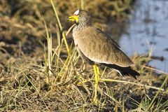 African wattled lapwing (plover) (Vanellus senegallus) Royalty Free Stock Photos