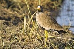 African wattled lapwing (plover) (Vanellus senegallus) Royalty Free Stock Images
