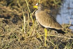 White-crowned lapwing (Plover) Royalty Free Stock Images