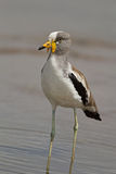 White-crowned lapwing standing in shallow water Royalty Free Stock Photos