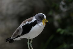 White-crowned lapwing (Vanellus albiceps) Royalty Free Stock Photography